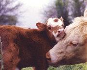 Cow_calf21_3