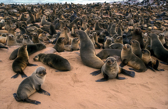 Cape_fur_seal1