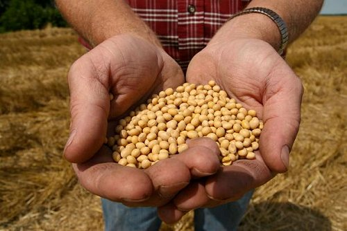 Monsanto_roundup_ready_soy_bean_see