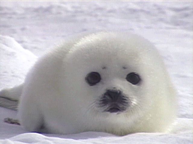 Baby20seal1