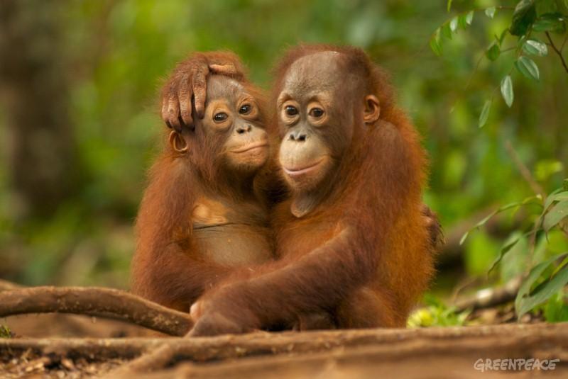 Orangutanshugging